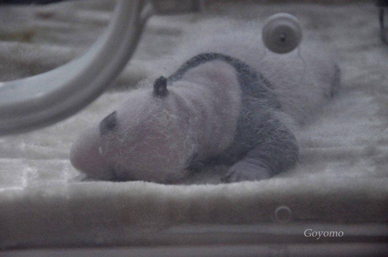 Chengdu Panda Base - baby giant panda
